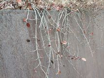 Beautiful iron background winter days. With branches and leaves at cloudy royalty free stock images