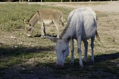 White donkey in Asinara island in Sardinia Italy stock photo