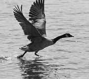 Beautiful isolated black and white image of a Canada goose taking off from the water. Beautiful isolated photo of a Canada goose taking off from the water stock image