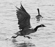 Beautiful isolated black and white photo of a Canada goose taking off from the water. Beautiful isolated photo of a Canada goose taking off from the water stock images