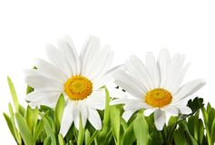 Beautiful Isolated Daisies Royalty Free Stock Photos