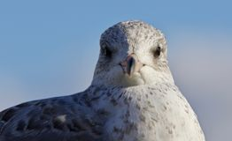 Beautiful isolated image of a cute gull Stock Image