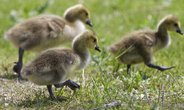 Beautiful isolated image with a family of the Canada geese. Beautiful isolated photo of chicks of the Canada geese walking through the field stock photography