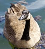 Beautiful isolated image of a funny wild Canada goose in the lake. Beautiful isolated photo of a wild Canada goose stock photos
