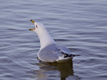 Beautiful isolated image with a gull screaming in the lake Royalty Free Stock Photo