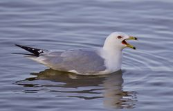 Beautiful isolated image with a gull screaming in the lake Stock Photography