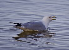 Beautiful isolated image with a gull swimming in the lake Stock Photography