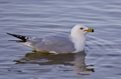 Beautiful isolated image with a gull swimming in the lake Royalty Free Stock Image