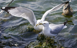 Beautiful isolated image with the gulls fighting for the food Royalty Free Stock Photo