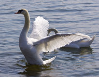 Beautiful isolated image with the swan showing his wings in the lake Royalty Free Stock Photos