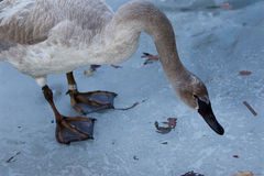Beautiful isolated image with the trumpeter swan standing on the ice. In the evening Royalty Free Stock Photography