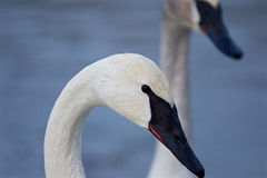 Beautiful isolated image with the trumpeter swans. On the evening Royalty Free Stock Image