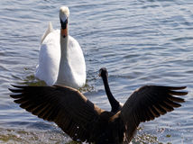 Beautiful isolated photo of the Canada goose defending his family from the swan Royalty Free Stock Photos