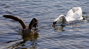 Beautiful isolated photo of the Canada goose running away from the angry swan Royalty Free Stock Image