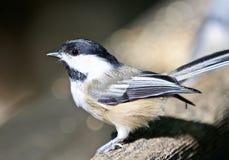 Beautiful isolated photo of a cute black-capped chickadee bird Stock Image