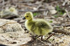 Beautiful isolated photo of a cute chick of Canada geese on a stump royalty free stock photo