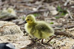 Beautiful isolated photo of a cute funny chick of Canada geese on a stump stock photo