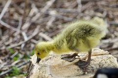 Beautiful isolated photo of a cute funny chick of Canada geese on a stump stock photography