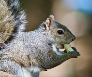 Beautiful isolated photo of a funny cute squirrel eating a nut Royalty Free Stock Photo