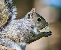 Beautiful isolated photo of a funny cute squirrel with a nut Stock Photography