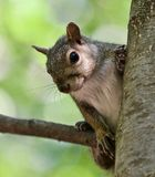 Beautiful isolated photo with a funny cute squirrel on a tree Stock Images