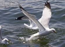 Beautiful isolated photo of the gulls fighting for the food Royalty Free Stock Images