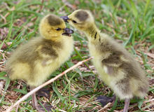 Beautiful isolated photo of the kissing chicks Royalty Free Stock Photo