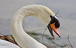 Beautiful isolated photo of a mute swan constructing the nest royalty free stock photo