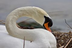 Beautiful isolated photo of a mute swan in the nest. Beautiful isolated photo of a swan in the nest stock photo