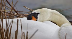 Beautiful isolated photo of a mute swan in the nest. Beautiful isolated photo of a swan in the nest stock image