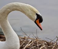 Beautiful isolated photo of a strong mute swan. Beautiful isolated photo of a swan in the nest stock photo