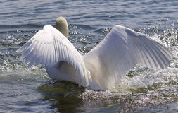 Beautiful isolated photo of the swan showing his power Royalty Free Stock Photo