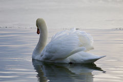 Beautiful isolated photo with the swan swimming in the lake. Beautiful isolated photo with the mute swan swimming in the lake stock image