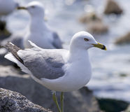 Beautiful isolated photo of two ring-billed gulls Royalty Free Stock Image