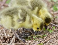 Beautiful isolated photo of two young chicks of Canada geese looking at something stock photo