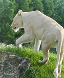 Beautiful isolated photo of a white lion walking Royalty Free Stock Photography