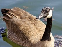 Beautiful isolated photo of a wild Canada goose in the lake. Beautiful isolated photo of a wild Canada goose stock photos