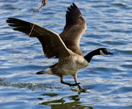 Beautiful isolated photo of a wild Canada goose landing. Beautiful isolated photo of a wild Canada goose stock image