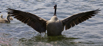 Beautiful isolated picture of a Canada goose with the opened wings. Beautiful isolated photo of a Canada goose stock photos