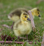 Beautiful isolated picture with a chick of the Canada geese Stock Photos