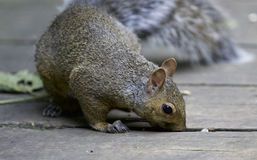 Beautiful isolated picture with a cute funny squirrel Royalty Free Stock Images