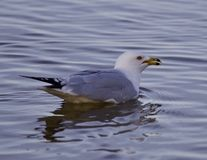 Beautiful isolated picture with a gull in the lake Stock Images