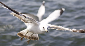 Beautiful isolated picture with the gulls flying. Beautiful isolated photo of the gulls Stock Photos