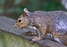 Beautiful isolated picture of a squirrel on the hedge Royalty Free Stock Photo