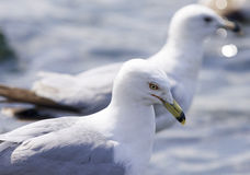 Beautiful isolated picture with two ring-billed gulls Stock Image