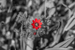 Beautiful isolated red flower in the field Royalty Free Stock Image