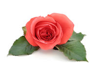 Beautiful Isolated Romantic Red Rose. A beautiful, isolated romantic red rose on a white, isolated background with green leafs. Use the photo for a love theme or Royalty Free Stock Photos