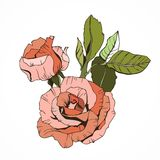 Beautiful isolated roses, peachy. On white background Stock Photo