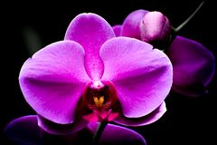 Isolated White and Purple Orchid Flowers, Black Background royalty free stock image