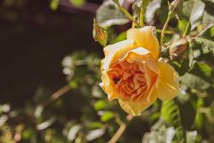 Beautiful isolated yellow rose with a bee background royalty free stock images